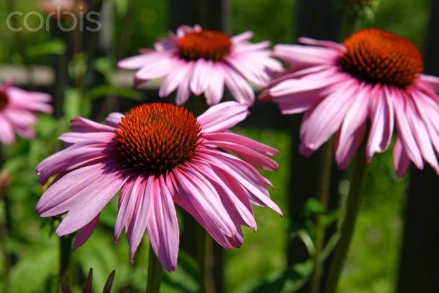 02 Jul 2015 --- Eastern Purple Coneflower (Echinacea purpurea), South Tyrol, Italy, Europe --- Image by © Bildverlag Bahnmüller/imageBROKER/Corbis