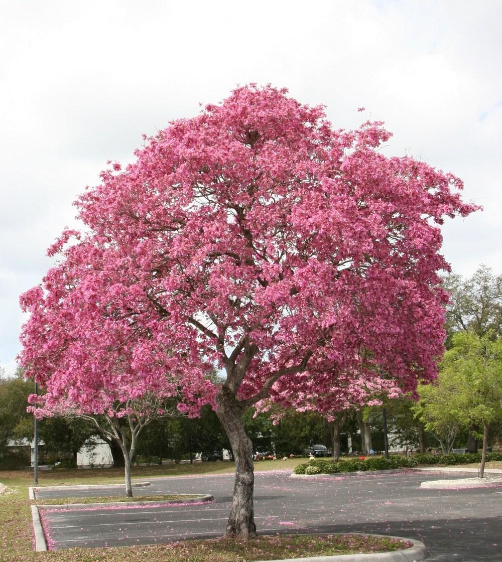 Ipê-rosa tomado de flores