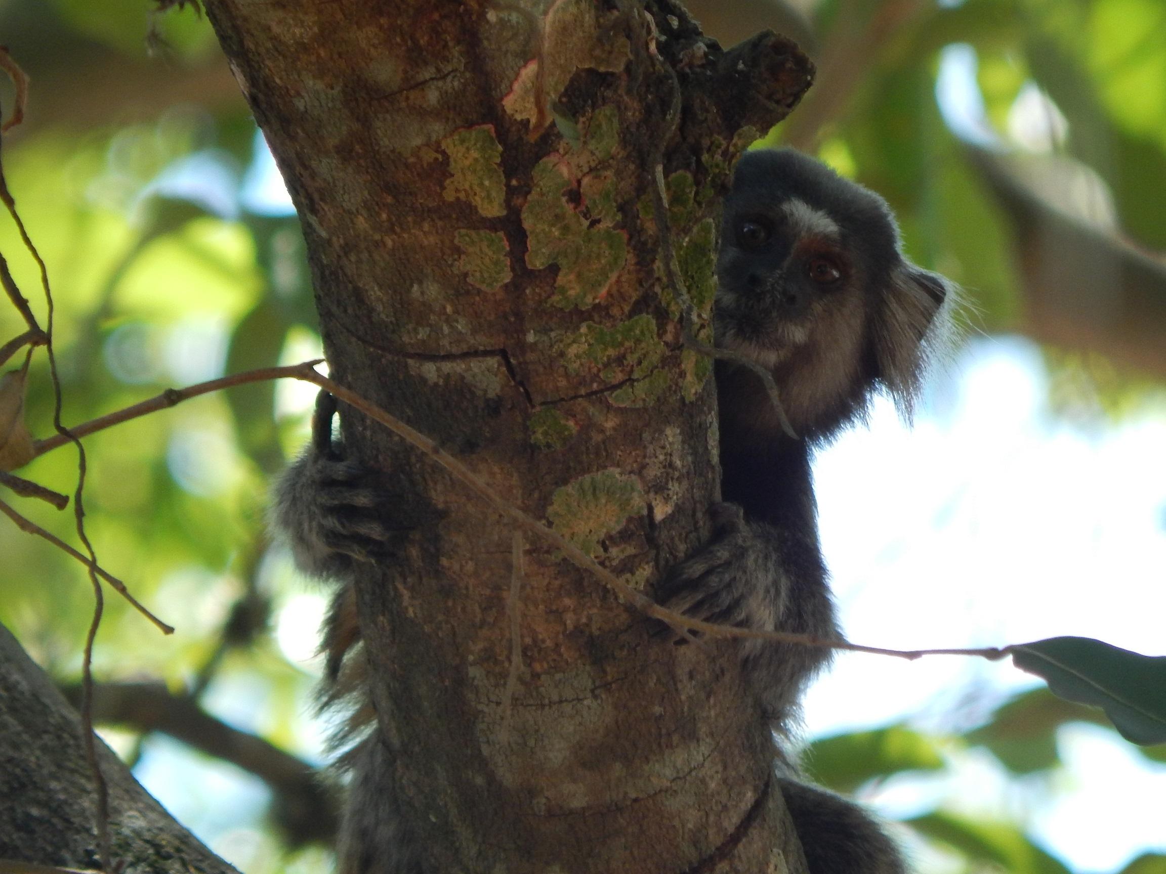 Resultado de imagem para mico