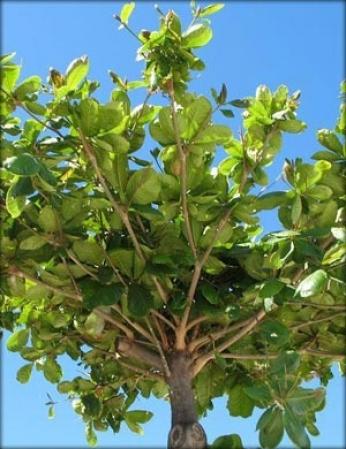 Detalhe de uma amendoeira (Terminalia catappa L.). Essa árvore possui porte grande, podendo chegar a 20 metros, e também faz parte da lista de exóticas invasoras.