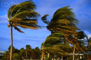 Florida, USA --- Coconut Palms in Gale Force Winds --- Image by © Larry Mulvehill/Corbis