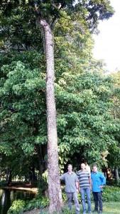 Árvore do Imperador do Campo de Santana, RJ. Imagem: Prefeitura do Rio de Janeiro