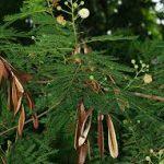 Destaque para as vagens da leucena, que são repletas de sementes.