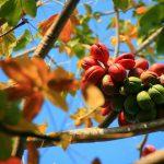 Sterculia foetida com o vermelho vibrante que a fez ser adotada como planta ornamental no Brasil.