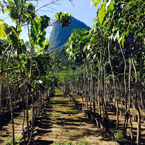 restauração florestal com espécies nativas