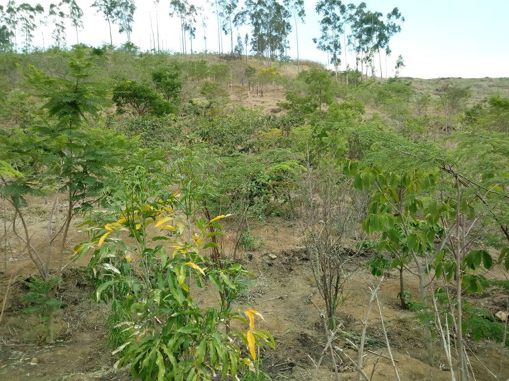 REflorestamento Serra de Madureira Biovert - manutenção