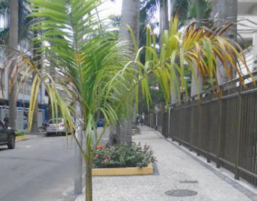 Palmeira imperial_Biovert