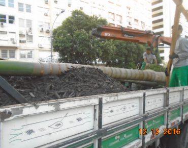 Transplante Palmeiras Presidente Antonio Carlos 5