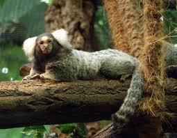 Mico (callithrix). Foto: Wikipedia