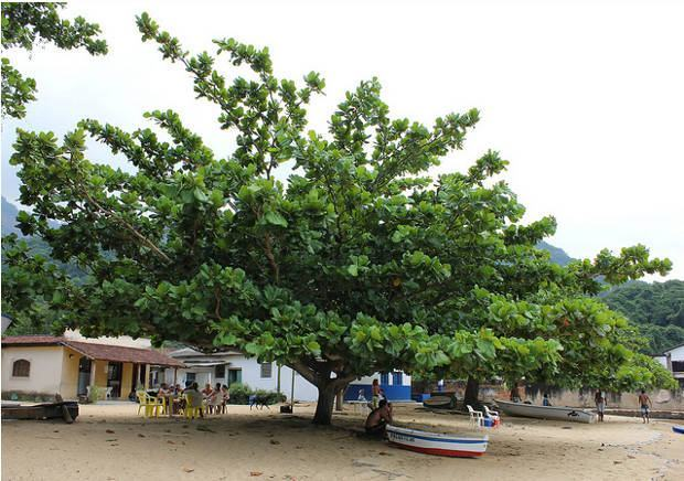 Amendoeira-da-praia, Terminalia Cappata
